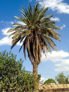palms Iraq Iraq .. Baghdad Rasoul Ali نخيل العراق  .. بغداد