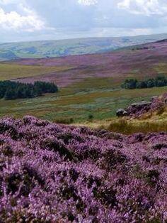 Beautiful heather in the Peak District