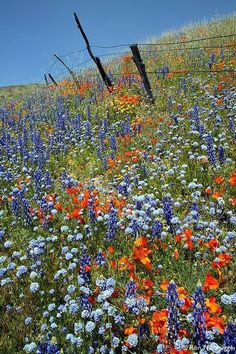 Fields of California wildflowers . poppies and lupine . Wild Flowers, Beautiful Flowers, Beautiful Places, Field Of Flowers, Meadow Flowers, Purple Flowers, California Wildflowers, Beautiful Gardens, Mother Nature