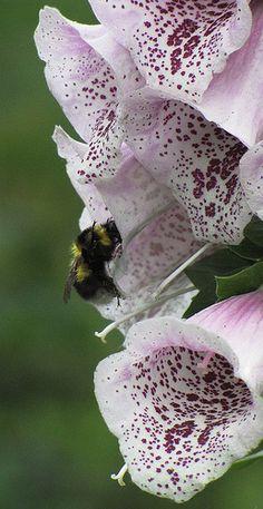 A Bee  Foxglove Vingerhoedskruid / digitalis purpurea; een van de topplanten voor bijen en hommels voor de zomer! Doet het ook in halfschaduw.  Verwilderd en ingeburgerd in NL volgens wilde-planten.nl