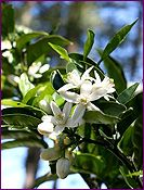 Neroli Essential Oil Profile includes uses, constituents, aromatic description, extraction method, latin name, safety info and references.