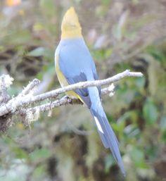 long-tailed silky flycatcher