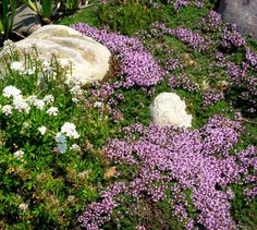 *WANT* Creeping Thyme Plant Care – How To Plant Creeping Thyme Ground Cover. Just like other thyme varieties, creeping thyme is edible with a flavor and aroma akin to mint when crushed or steeped for teas or tinctures. Red Creeping Thyme, Creeping Phlox, Rock Garden Plants, Shade Garden, Best Ground Cover Plants, Ground Cover Plants Shade, Perennial Ground Cover, Thyme Plant, Woods