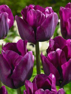 Tulipa triumph 'Saigon' Tulip from ADR Bulbs