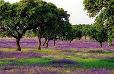 The cork groves burst in colour in spring as swathes of purple, white or yellow flowers carpet the earth. This is a very special ecology and one which should be preserved. Fortunately the cork oak, Portugal's national tree, is protected and thus the habitat where it grows,