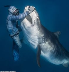 The Shark Whisperer: Diver calms giant predator with a touch of his hand Shark Pictures, Shark Photos, Aquariums, Marine Ecosystem, Great White Shark, Ocean Creatures, Underwater Photography, Ocean Life, Marine Life