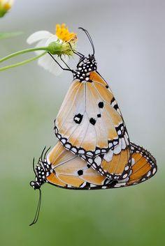 bellasecretgarden:  (via Plain Tiger Butterflies, inckurei | Insectum #2…