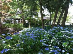 .Hydrangeas  ~ so happy in the dappled light
