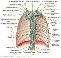 3 Immunology Lymphoid Tissues And Organs On Pinterest
