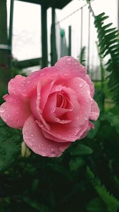 Wallpaper Nature Flowers, Rose Flower Wallpaper, Beautiful Flowers Wallpapers, Beautiful Rose Flowers, Pretty Roses, Exotic Flowers, Amazing Flowers, Pretty Flowers, Love Rose Flower