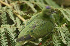 Superb Fruit Dove female (Ptilinopus superbus)
