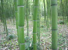Phyllostachys dulcis cv. Shanghai *