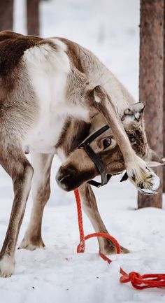 Reindeer in Finnish Lapland.Find out things to do in Finland Travel Images, Travel Pictures, Cool Pictures, Usa Places To Visit, Finland Travel, Paradise Travel, Best Travel Quotes, Europe Destinations, Best Vacations