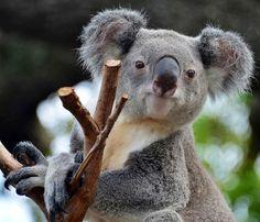 Koala image via Tampa's Lowry Park Zoo at www.Facebook.com/TampaZoo