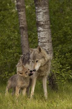 beautiful-wildlife: Timber Wolves by Carol Gregory