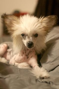 Chinese Crested - i love the crested when it is a puppy. their oh so cute fuzz head. makes me want to get a 3rd!