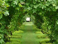 Golden marjoram with grape vines