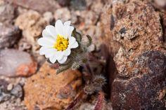 Small Desert Star  Monoptilon bellidiforme