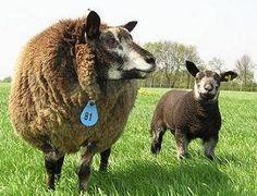 Blue Texel ewe