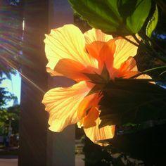 A #gorgeous orange #Hibiscus in downtown #Lahaina, #Maui