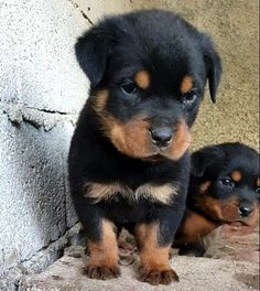 Super Cute Puppies, Cute Baby Dogs, Cute Little Puppies, Cute Baby Animals, Dogs And Puppies, Doggies, Puppy Mix, English Bulldog Puppies, Rottweiler Puppies