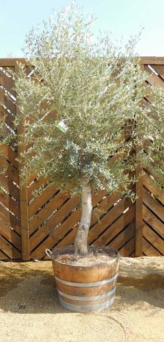 Mature Olive Tree in Half Wine Barrel. With Free UK Delivery. Only £299.99
