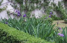boxwood hedge with irises - Google Search