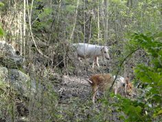 Feral Pigs Feral Pig, Virgin Islands National Park, Tropical Animals, Pigs, Goats, National Parks, Goat, State Parks
