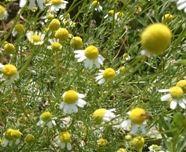 Přírodní kosmetika: Heřmánkový olej - přírodní poklad