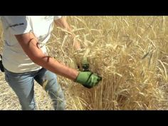 This video from Grow Organic walks you through the stages of ripeness for grains and teaches you how to harvest, thresh & winnow your home grown grains.
