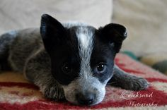 Awww, I want that puppy! Aussie Cattle Dog, Austrailian Cattle Dog, Cute Puppies, Cute Dogs, Dogs And Puppies, Doggies, Cute Baby Animals, I Love Dogs, Animals Beautiful