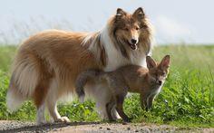 Meu irmão de outra mãe Órfão raposa Dinozzo joga com Ziva o collie em Oberscheld, Alemanha.  O filhote de raposa foi resgatado depois de um acidente de viação matou sua mãe e tornou-se recuperou a saúde - graças a um collie carinho.  Ele foi inspecionado por um veterinário e foi adotado por amantes dos animais Werner e Angelika Schmaing de Oberscheld, Alemanha.  Sob seu cuidado vigilante a raposa foi da força à força - e já começou a acreditar que é um dos dogs.Picture: Animal Imprensa…