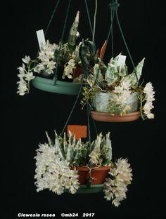 Clowesia rosea par Michel B