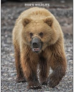 This bear wanted to have a 1:1 time with me  He came straight for me he got within 30 feet at most I clapped my hand and yelled at him and then he turned  It was exciting for a few seconds  #wildlifeplanet #wildlife #wildlifephotography #Alaska #AlaskanGrizzly #AlaskaLifestyle #bears #bearsofinstagram #Bear