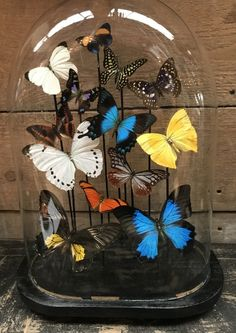 Beautiful oval dome with a mix of colorfull butterflies - Butterflies and beetles.  De Jachtkamer