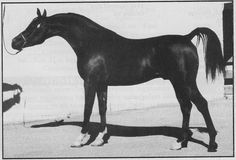 TF EQUALIZER  (Pro-Fire x *Ramses Elissa, by Emin) 1986 bay stallion bred by Dawn Gallo   Pictured at age 3