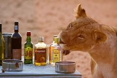 Even our Lions love Gin & Tonic on safari! African Animals, African Safari, Out Of Africa, Game Reserve, Cape Town, South Africa, Country, Places, Lions