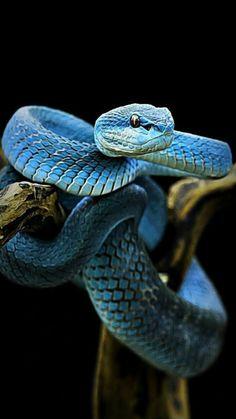 Le plus récent Photos Reptiles tatuajes Suggestions Reptiles Et Amphibiens, Cute Reptiles, Rare Animals, Animals And Pets, Beautiful Creatures, Animals Beautiful, Beaux Serpents, Serpent Animal, Snake Wallpaper