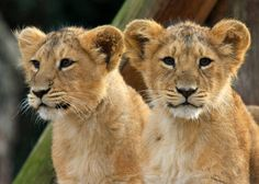 Lion cubs with teddy bear ears Lion Images, Lion Pictures, Beautiful Cats, Animals Beautiful, Baby Animals, Cute Animals, Wild Animals, Lion Book, Tatoo