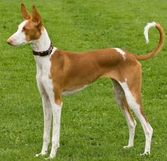 Ibizan Hound. They are members of the hound group. They are great sight hounds. They stand at 22 1/2-27 1/2 inches at the shoulder and weigh about 45-65 pounds.