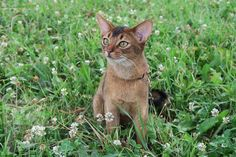 Abyssinian Kittens, Cats And Kittens, Free Pictures, Free Images, Pretty Cats, Pretty Kitty, Cattery, S Pic, Cool Cats