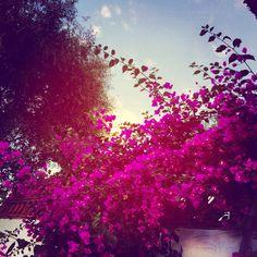 Avondlicht eind november...met een weelderig bloeiende #bougainville