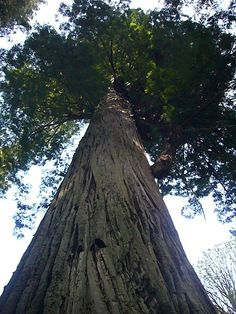 304ft tall, Prairie Creek Redwoods State Park