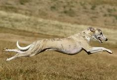 A greyhound can run as fast as 45 miles an hour.