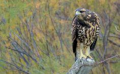 https://flic.kr/p/v6Ljga | Gavilán Mixto / Harris´s Hawk / Parabuteo unicinctus | Gavilán Mixto (juvenil)  Harris´s Hawk (juvenile)  Familia: Accipitridae Orden: Accipitriformes  Necochea-Argentina