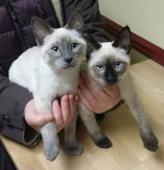 Siamese Cats Want more cute cats? Click the photo for more! I Love Cats, Cute Cats, Funny Cats, Animals And Pets, Baby Animals, Cute Animals, Siamese Cats, Cats And Kittens, Oriental Cat