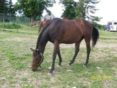 Sable is an adoptable Thoroughbred Horse in Afton, NY. Sable is a 15 hand, 4 year old thoroughbred mare. She has a wonderful personality and handles well. She was ridden for the first time at our open...