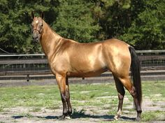 An Akhal-Teke buckskin. Google the Akhal-Teke part to see real golden horses :) I prefer the buckskin mah-self.