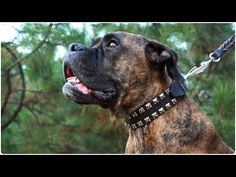 """Fabulous Boxer wearing """"Lord Protector"""" Leather Dog Collar with Studs Boxer Dogs, Boxers, Leather Dog Collars, Studded Leather, Studs, Pitbulls, Lord, How To Wear, Asparagus"""
