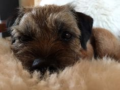 Adorable Border Terrier Dog Resting